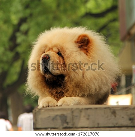 chow-chow dog lying on the street - stock photo