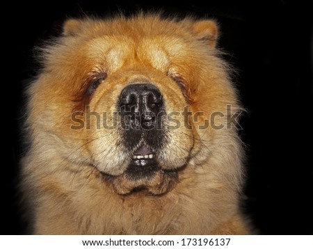 Chow-chow dog. Portrait in close up