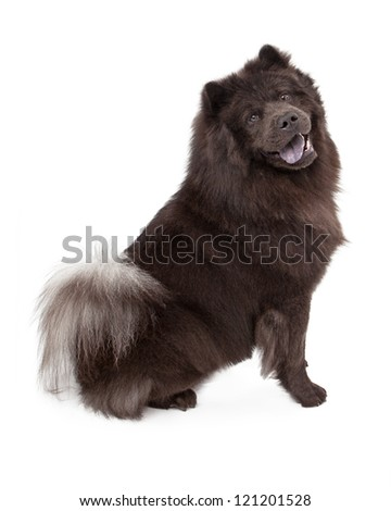 Chow-Chow dog sitting against a white background and looking at the camera - stock photo