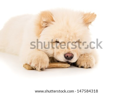 Chow chow eats bone