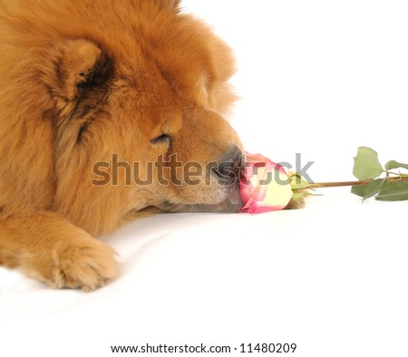Chow-chow enjoying aroma of the rose, isolated on a white background - stock photo