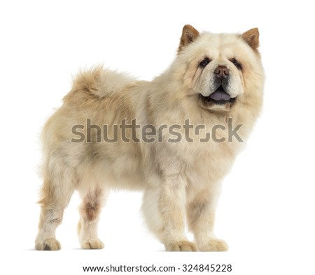 Chow chow in front of a white background - stock photo