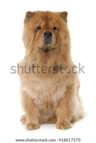 chow chow in front of white background - stock photo