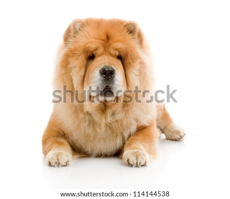 Chow-Chow  in studio on white background