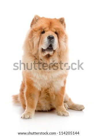 Chow-Chow  in studio on white background - stock photo