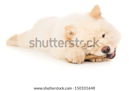 Chow chow puppy chewing on a bone isolated - stock photo