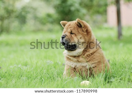 Chow chow puppy portrait - stock photo