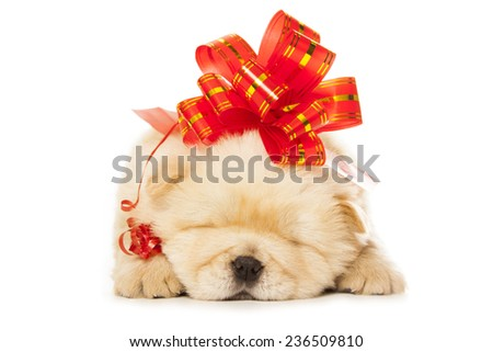 chow-chow puppy with big red bow isolated over white background - stock photo