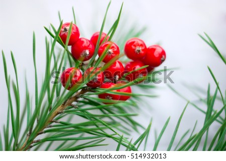 Christmas and New Year seasonal background with pine tree branches and red rowan berries, copy space
