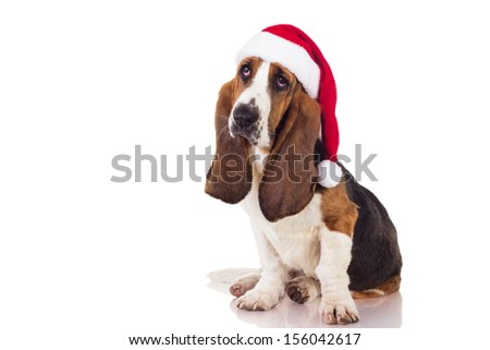 Christmas Basset puppy sitting, isolated on white