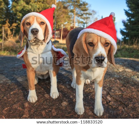 Christmas beagles - stock photo