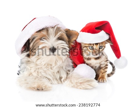 Christmas Bengal cat and Biewer-Yorkshire terrier puppy in red santa hat. isolated on white background