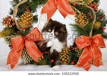 Christmas black and white Persian kitten sitting inside Christmas wreath on white fake faux fur background  - stock photo