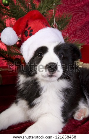 Christmas Border Collie Pup on red velvet background with tree and presents