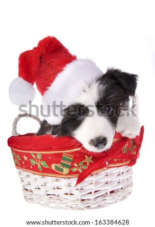 Christmas Border Collie puppy isolated on white background