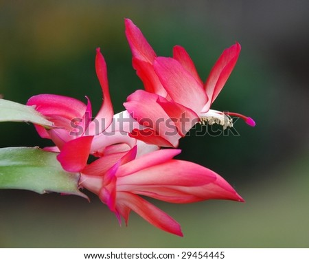 Christmas Cactus with Red Blossoms
