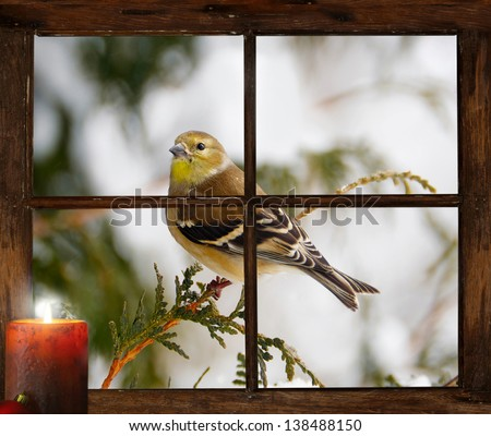 Christmas card background. A goldfinch in the snow peeks curiously into  a tiny farmhouse window with a festive candle burning on  the windowsill  on Christmas morning.  Part of a series. - stock photo
