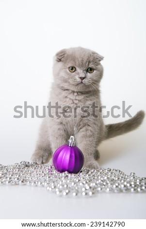 Christmas cat. Gray kitten with Christmas beads on a white background. Gray kitten Scottish Fold.  kitten playing Christmas toys  - stock photo