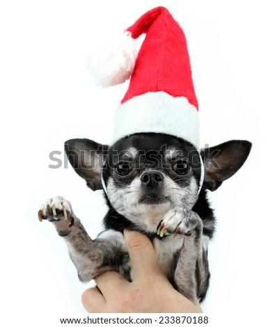 Christmas chihuahua - stock photo