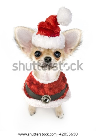 Christmas chihuahua puppy with Santa costume isolated on white background - stock photo