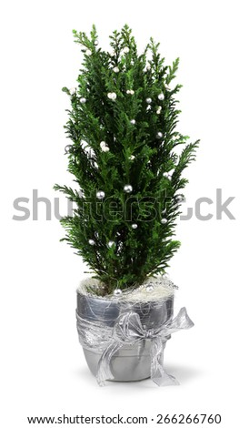 Christmas decoration cypress in silver pot isolated - stock photo