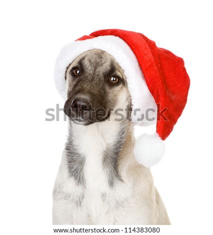 christmas dog as santa. isolated on white background - stock photo
