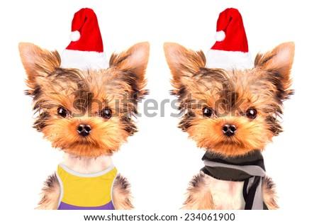 christmas dog as santa on a white background - stock photo