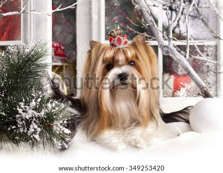 christmas dog, Biewer Terrier - stock photo