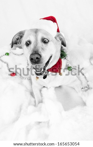 Christmas dog, black and white with color - stock photo