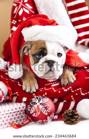 christmas dog, english bulldog wearing santa - stock photo