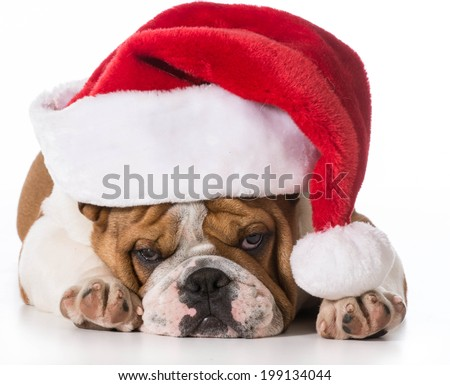 christmas dog - english bulldog wearing santa hat on white background - stock photo