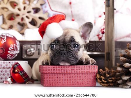 christmas dog - french bulldog wearing santa - stock photo