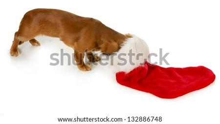 christmas dog - miniature dachshund with head inside stocking isolated on white background - stock photo
