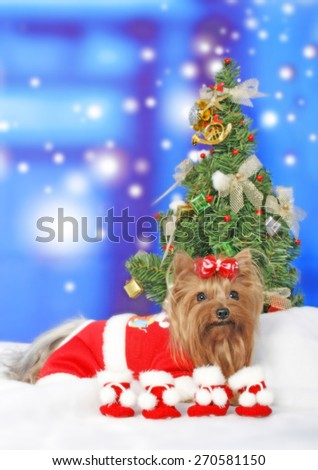 christmas dog / yorkie dog / yorkie with tiny socks / red ribbon /grooming for chirstmas  - stock photo
