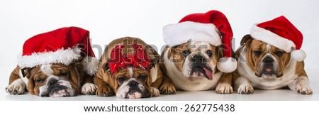 christmas dogs - cute Chrismas concept with one bad santa - stock photo