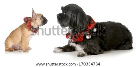 christmas dogs - french bulldog puppy looking at mixed breed friend both wearing christmas collars isolated on white background - stock photo