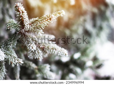Christmas evergreen spruce tree with fresh natural snow. Winter frost background - stock photo