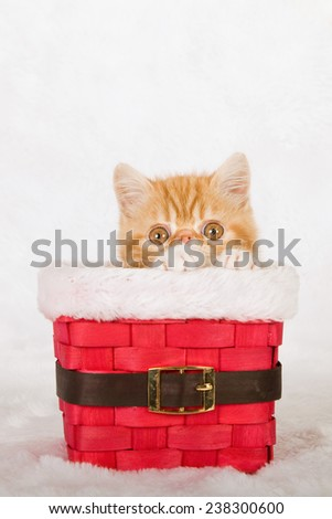 Christmas Exotic kitten sitting inside red Santa pants basket on white fake faux fur background - stock photo