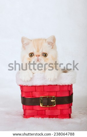 Christmas Exotic kitten sitting inside Santa pants red basket on white fake faux fur background  - stock photo