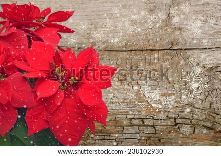 Christmas flower poinsettia on wooden background  - stock photo