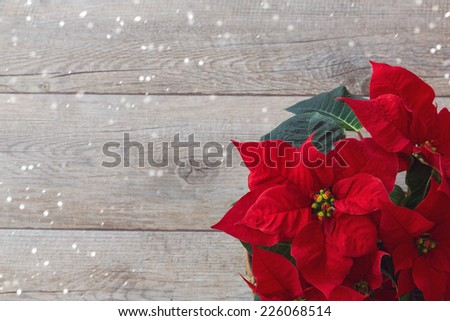 Christmas flower poinsettia over wooden background - stock photo