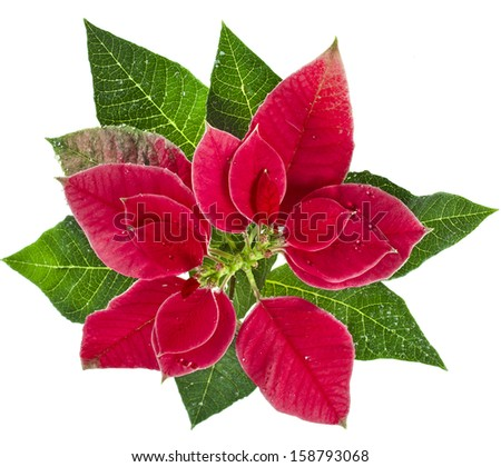 christmas flower - Red poinsettia surface close up isolated on a white background  - stock photo