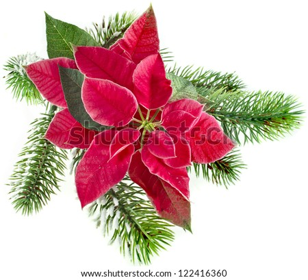 christmas flower - Red poinsettia with fir branch isolated on a white background - stock photo
