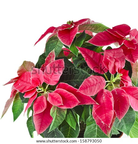 christmas flower symbol - Red poinsettia close up macro isolated on a white background  - stock photo