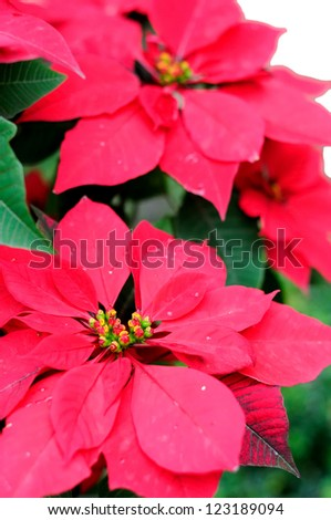 Christmas flowers blur in a distance, white background.