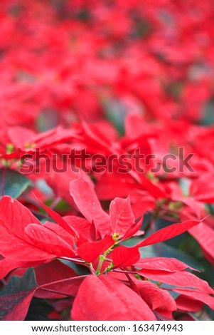 Christmas Flowers, Red