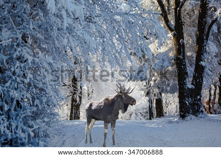 Christmas forest in the snow. Early morning in a forest glade with traces of skis. Magnificent Moose went for walk - stock photo