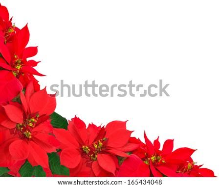 christmas frame from poinsettias isolated on white  - stock photo