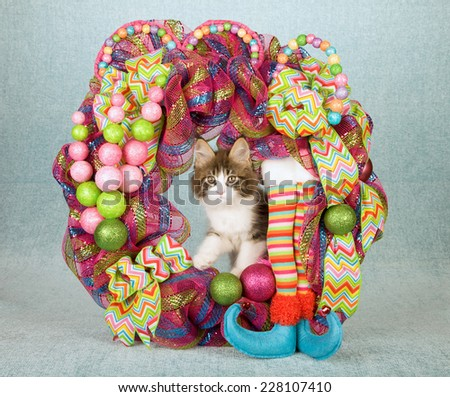 Christmas Maine Coon kitten sitting inside Christmas wreath with elf legs ribbons bows and decorations  - stock photo