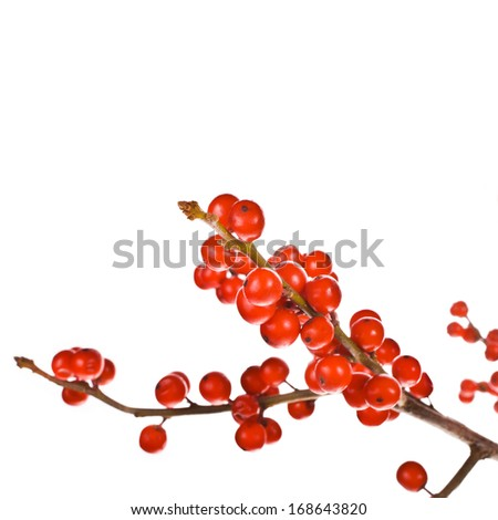 Christmas motif plant aquifolium - european holly ilex christmas decoration round red berries on branches without leaves  isolated on white background - stock photo